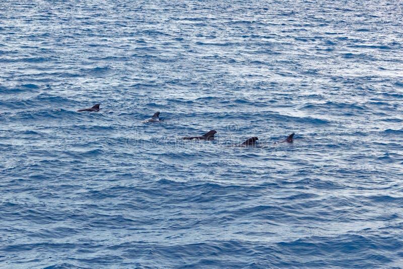 Strąk Krótki użebrowany pilotowy wieloryb z wybrzeża Tenerife, Hiszpania obraz royalty free