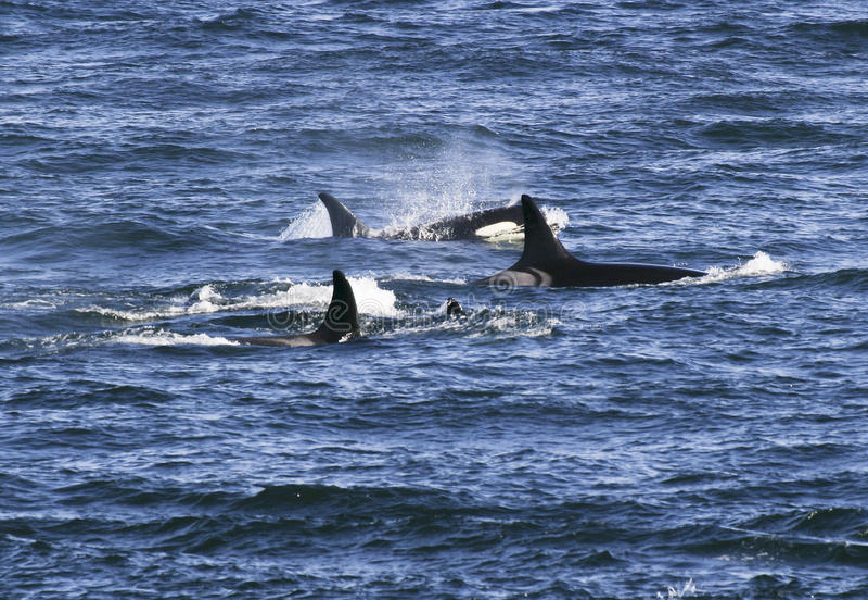 Strąk zabójców wieloryby obrazy royalty free