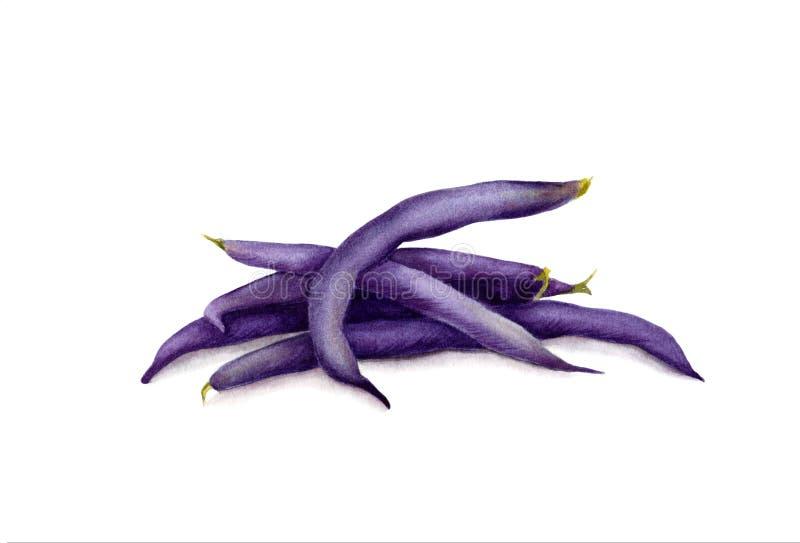 Strąki purpurowe smyczkowe fasole Ręka rysująca akwareli ilustracja Realistyczna botaniczna sztuka pojedynczy białe tło ilustracji
