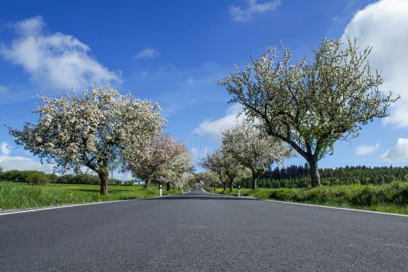Straße mit Gasse der Kirschbäume in der Blüte lizenzfreies stockbild