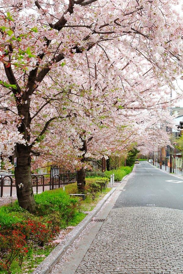 Straße von Kirschblüte-Bäumen stockfotografie