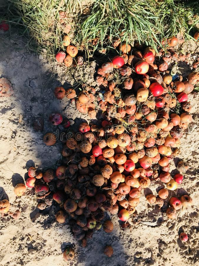Straßenäpfel sitzen in der Herbstsonne lizenzfreie stockfotografie
