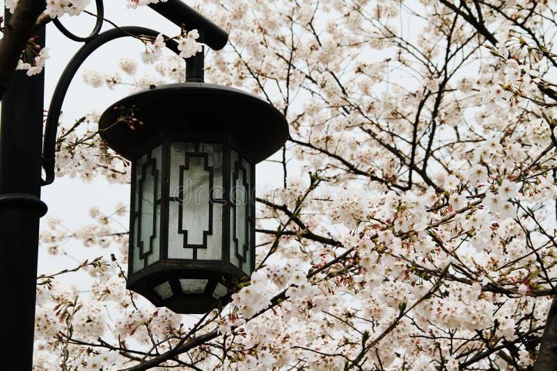 Straßenbeleuchtungs- und Kirschblüten lizenzfreie stockfotografie
