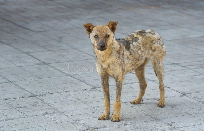 Straßenhund erholt von Scherpilzflechte stockfotos