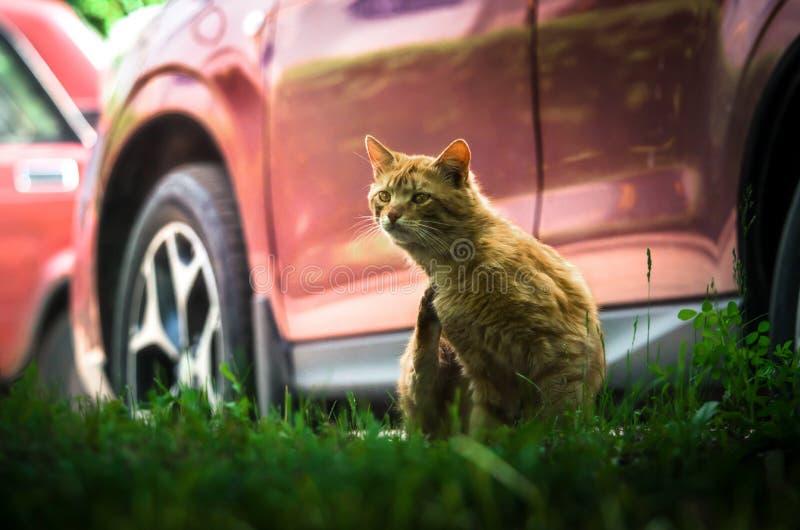 Straßeningwerkatze wäscht und baut lustige Ausdrücke gegen ein rotes Auto auf lizenzfreie stockfotos