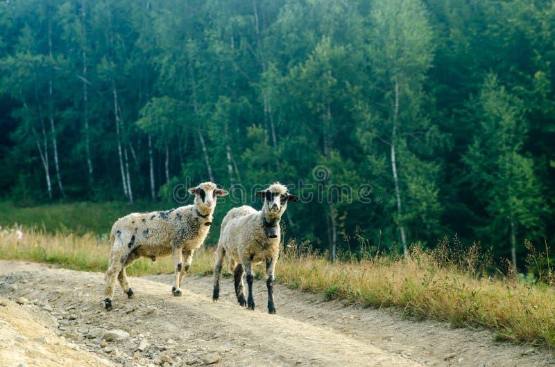 Straße mit zwei junge Schafen stockfotografie