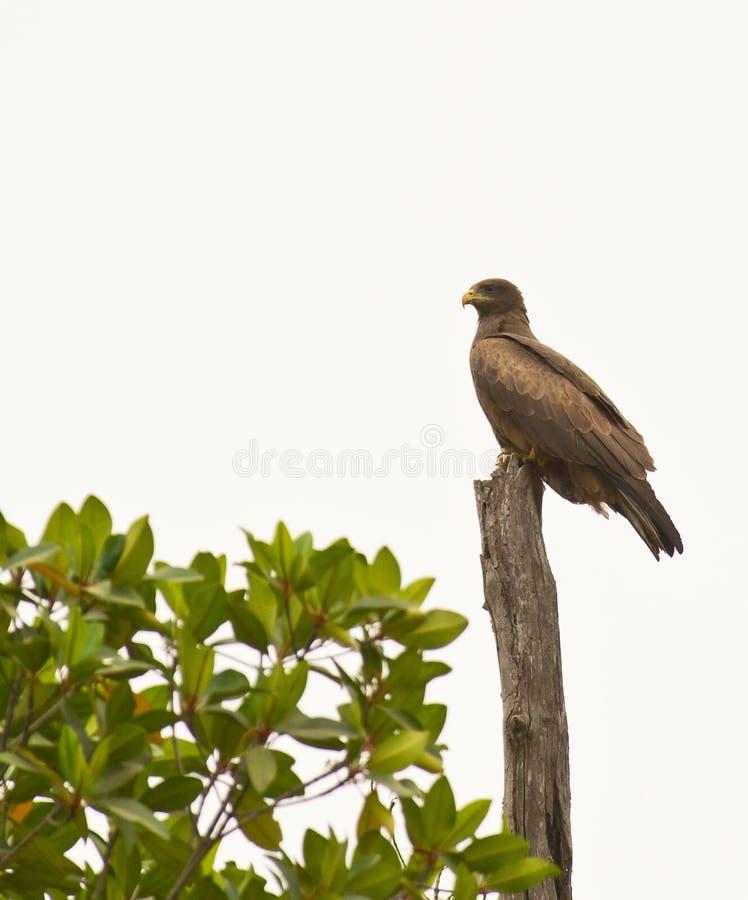 strażowy orła tawny fotografia stock