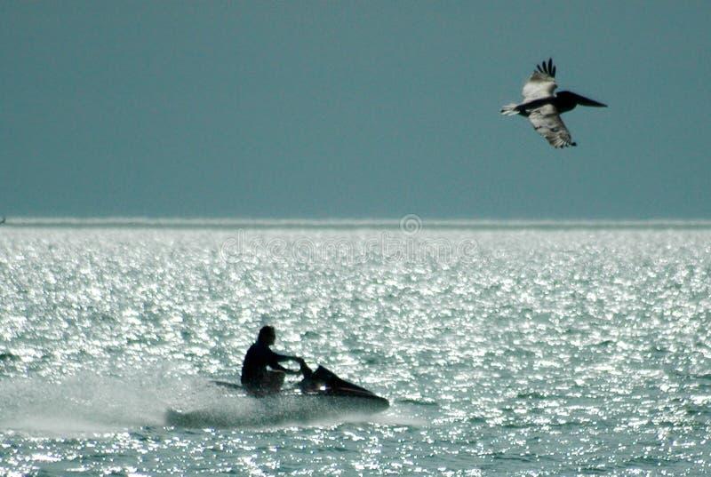 Straal-ski en pelikaan royalty-vrije stock fotografie