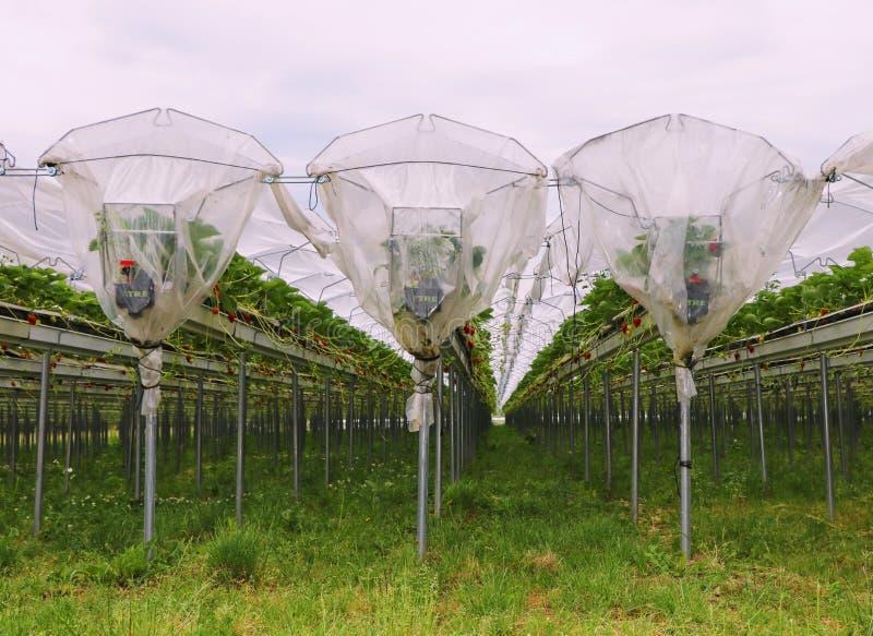 Straberries lantgård arkivbilder