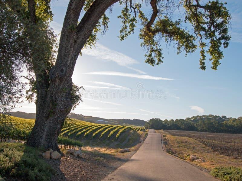Strada all'alba attraverso le vigne di Paso Robles nel Central Valley di California U.S.A. fotografie stock