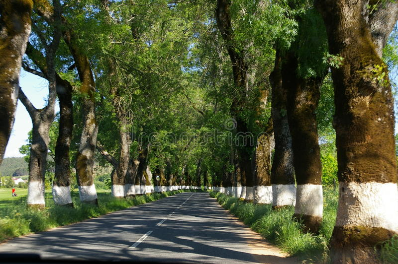 Strada allineata albero Potugal immagini stock