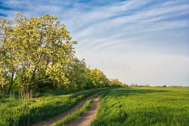 Strada del campo fra grano e la locusta verdi immagine stock