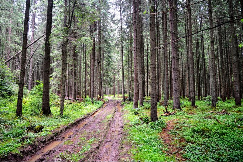 Strada di bobina paludosa della foresta con le pozze fra gli alberi immagini stock