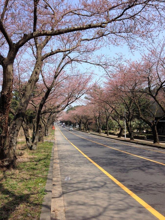Strada ed albero di sakura in Corea fotografia stock libera da diritti