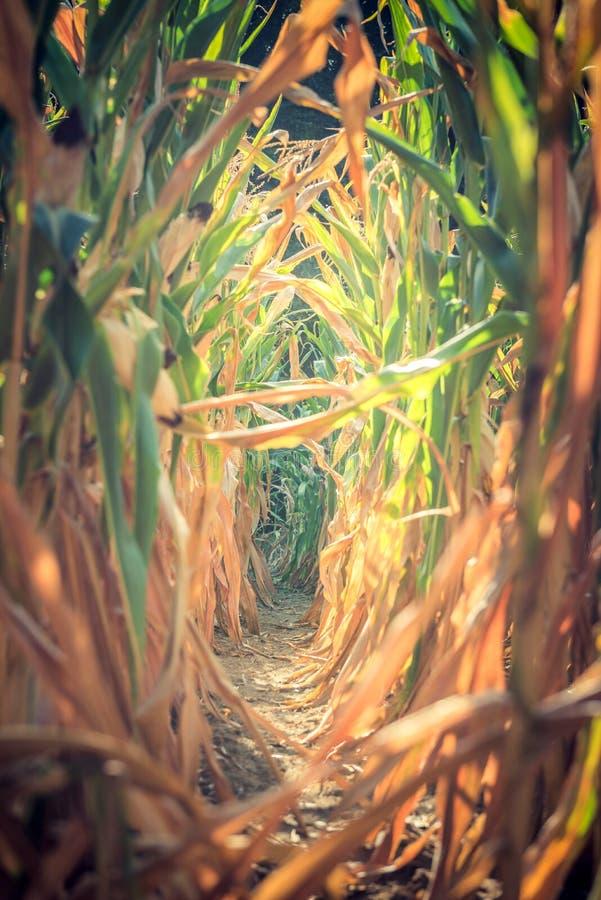 Strada in mezzo a cereale fotografia stock libera da diritti
