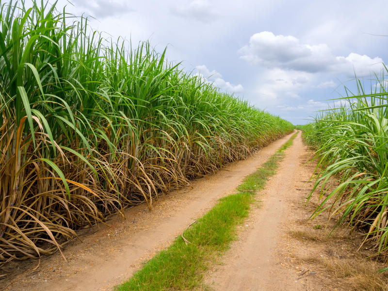 Strada nel firld della canna da zucchero immagine stock