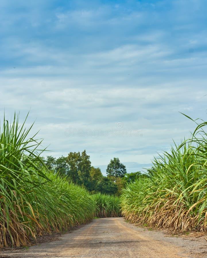 Strada nel giacimento della canna da zucchero fotografia stock libera da diritti
