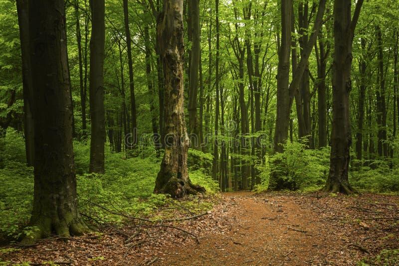 Download Strada Nella Foresta Del Fogy Fotografia Stock - Immagine di mistero, bello: 56878712