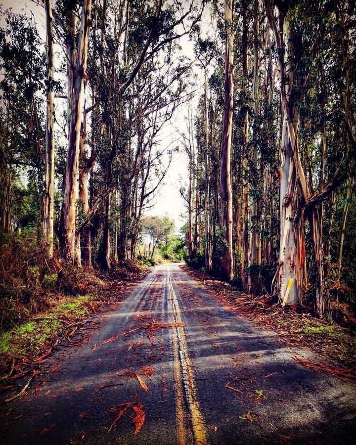 Strada principale dell'eucalyptus fotografie stock