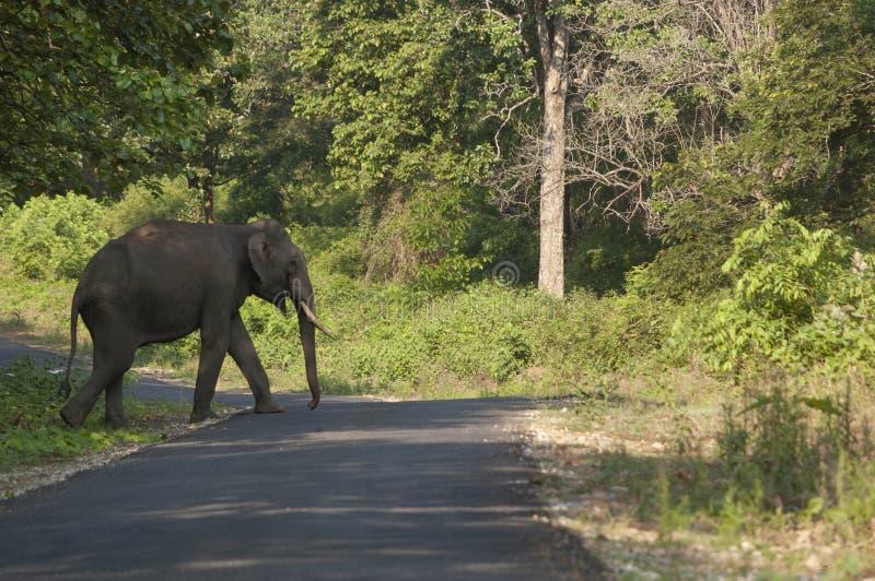 Strada principale di stato dell'incrocio di Tusker a Kabini, Nagarhole, il Karnataka, India immagine stock libera da diritti
