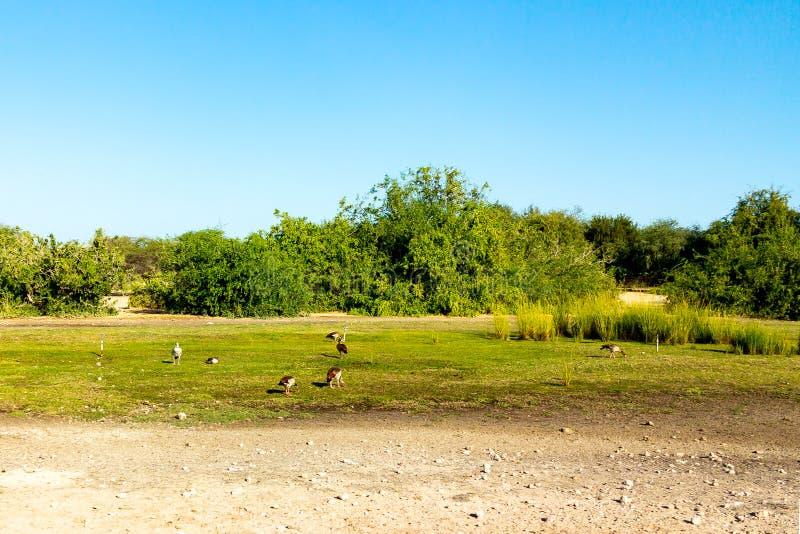 Strada a Safari Park su Sir Bani Yas Island, Abu Dhabi, Emirati Arabi Uniti fotografia stock libera da diritti