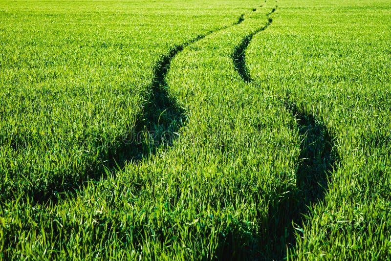 Strada in un campo di grano verde fotografia stock libera da diritti