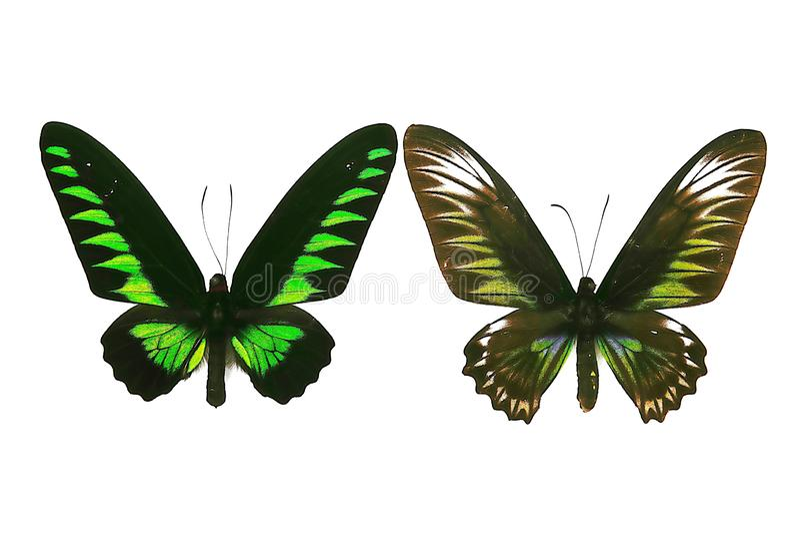 Straff Schmetterlinge des Fotos zwei für natürliche Untersuchungen an Tieren auf weißem backgound stockfotografie