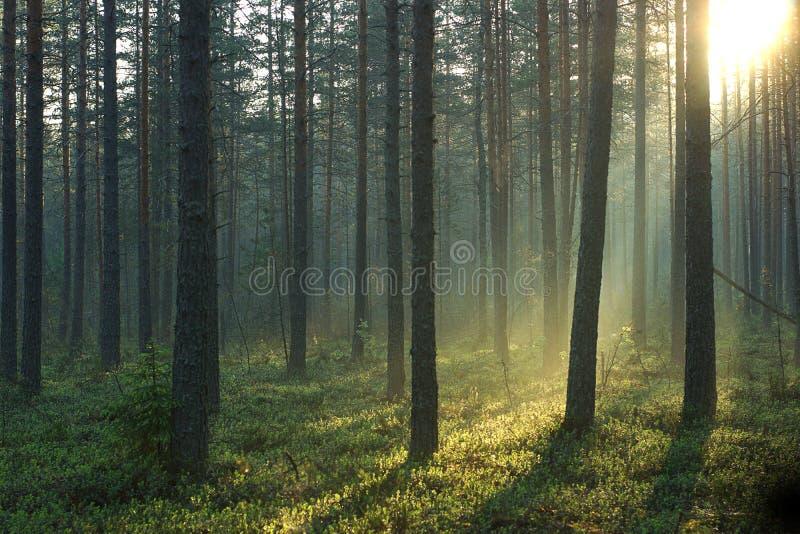 Strahlen des Morgensonnendurchlaufs durch einen schönen Kiefernwald am Frühsommermorgen lizenzfreies stockbild