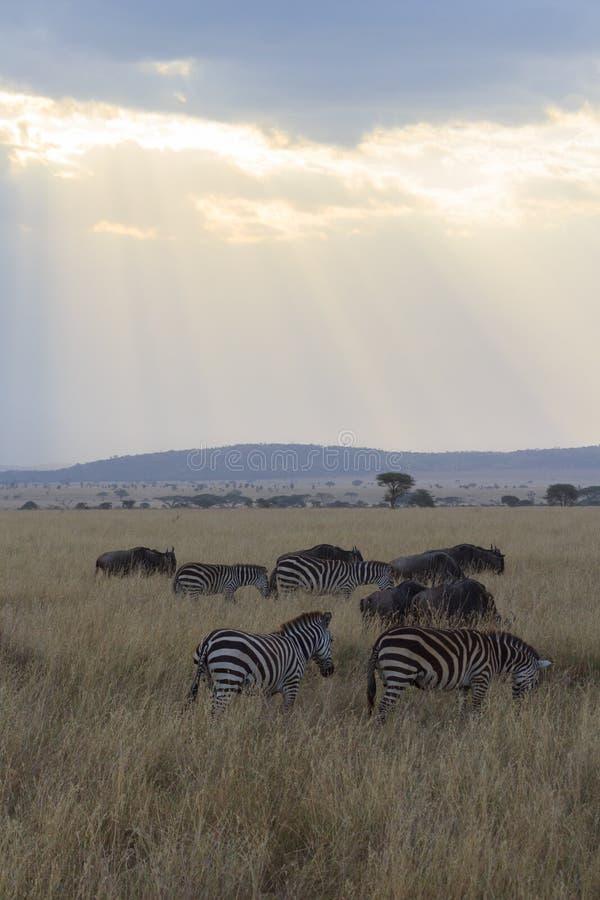Strahlen des Sonnenlichts glänzend auf der Serengeti-Savanne mit Zebra stockfoto