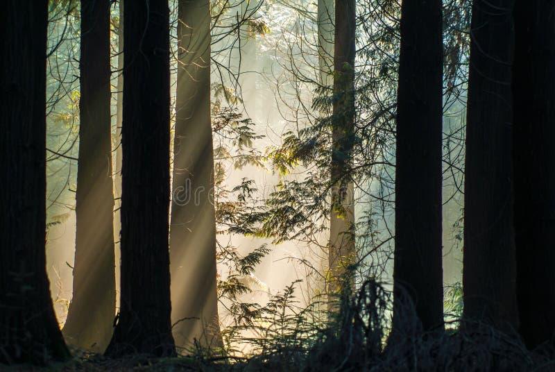 Strahlen des Tageslichtes in einem Herbstwald stockfotografie