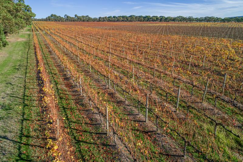 Straight rows of golden grape vines in autumn. Straight rows of golden grape vines in autumn in Australia stock photos