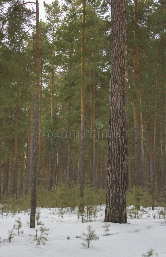 Straight tree trunk on a background of green coniferous forest in white snow in winter stock images