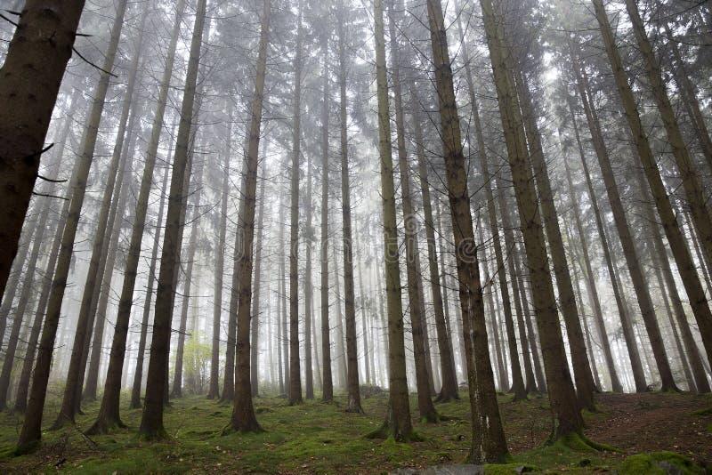 Straight up misty trees royalty free stock photos