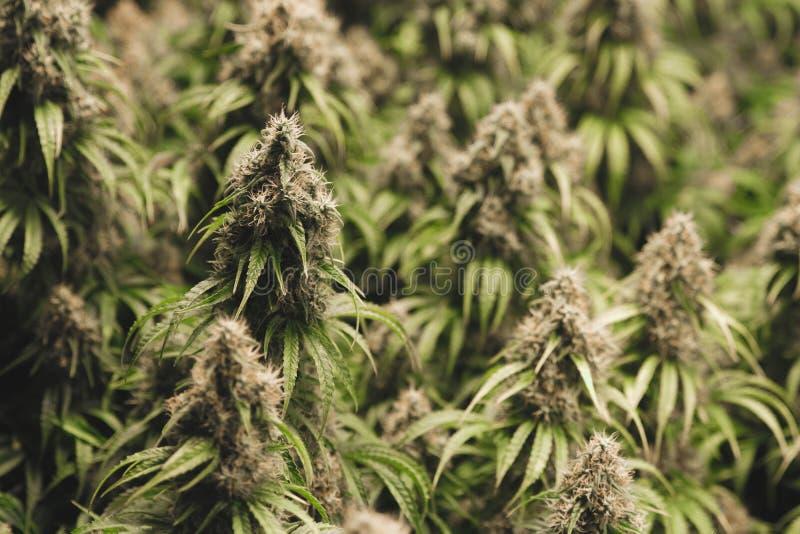 Strak gegroepeerde medische marihuanainstallaties stock afbeeldingen