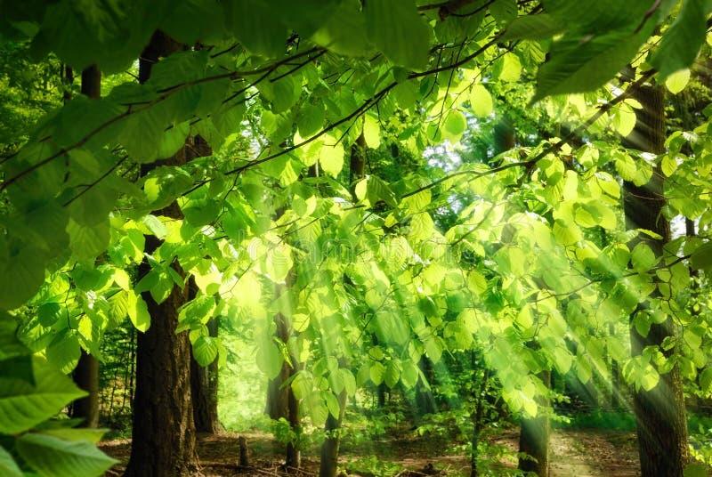 Stralen die van zonlicht door bladeren vallen stock foto