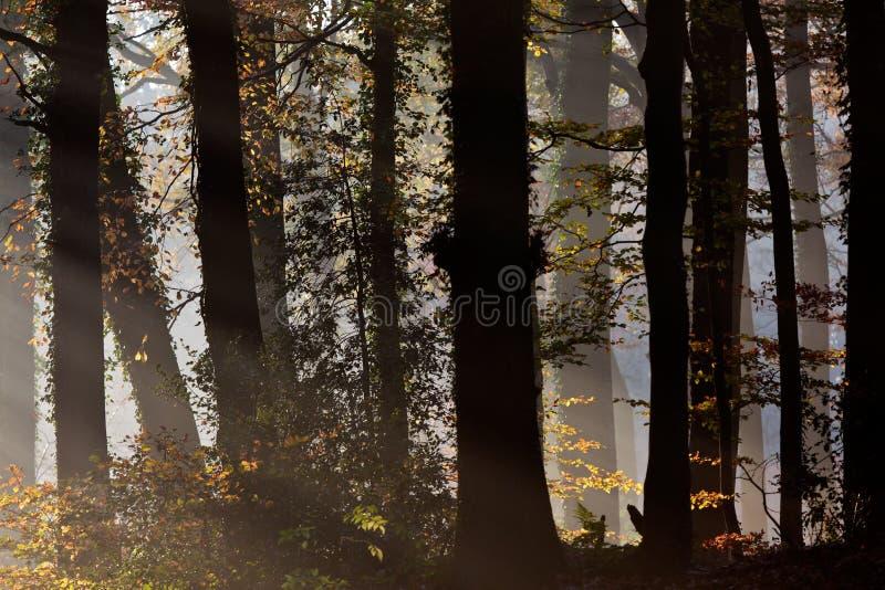 Stralen die van zonlicht een bos ingaan stock fotografie