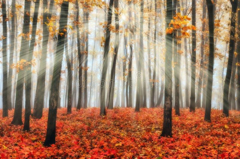 Stralen van de de herfst de boszon in het bos stock fotografie