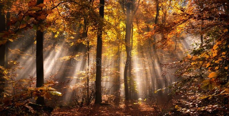 Stralen van licht in een nevelig de herfstbos stock foto's