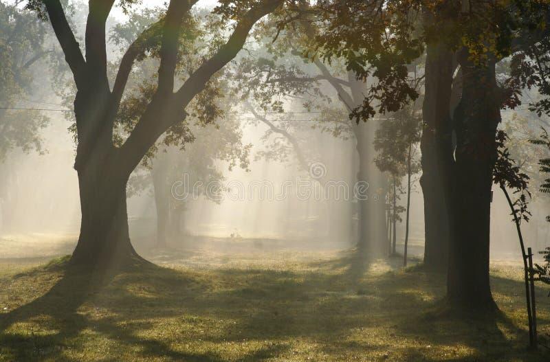 Stralen van licht in nevelig bos royalty-vrije stock afbeelding