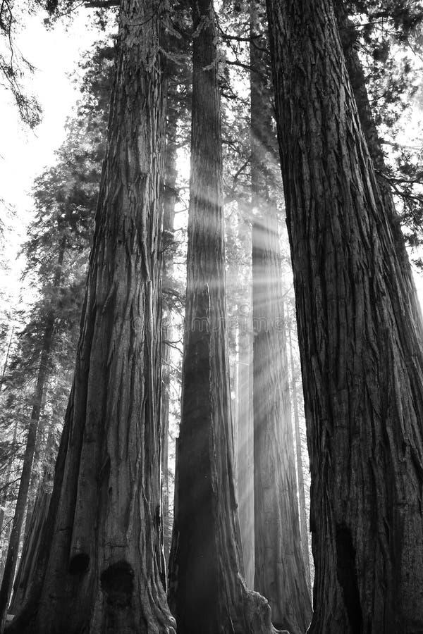 Stralen van Zonlicht door de Reusachtige Reuzebomen van de Sequoiacalifornische sequoia in Bla stock afbeeldingen
