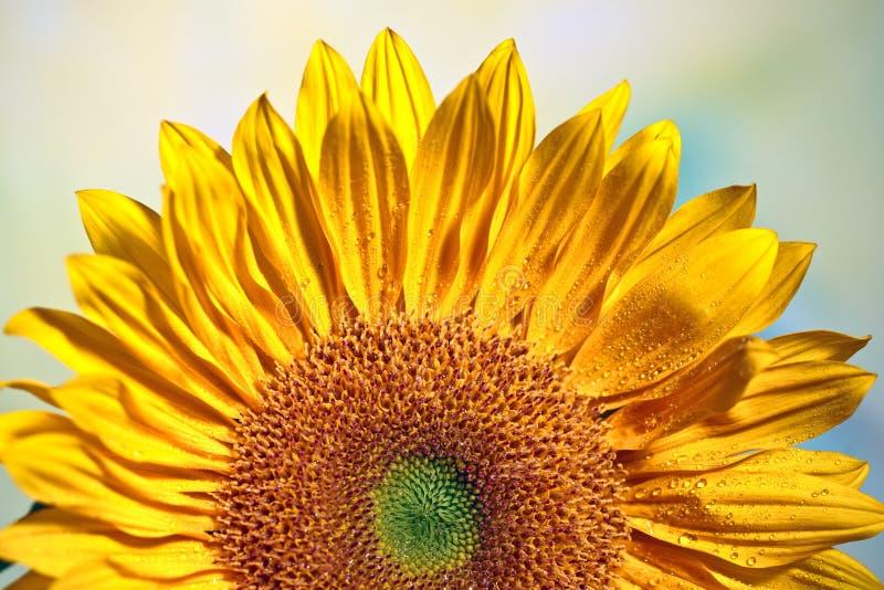 Stralende Zonnebloem stock afbeeldingen
