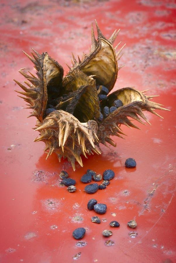 Stramonium de datura de mauvaise herbe de Jimson ou pomme d'épine Fruit et graines photo libre de droits
