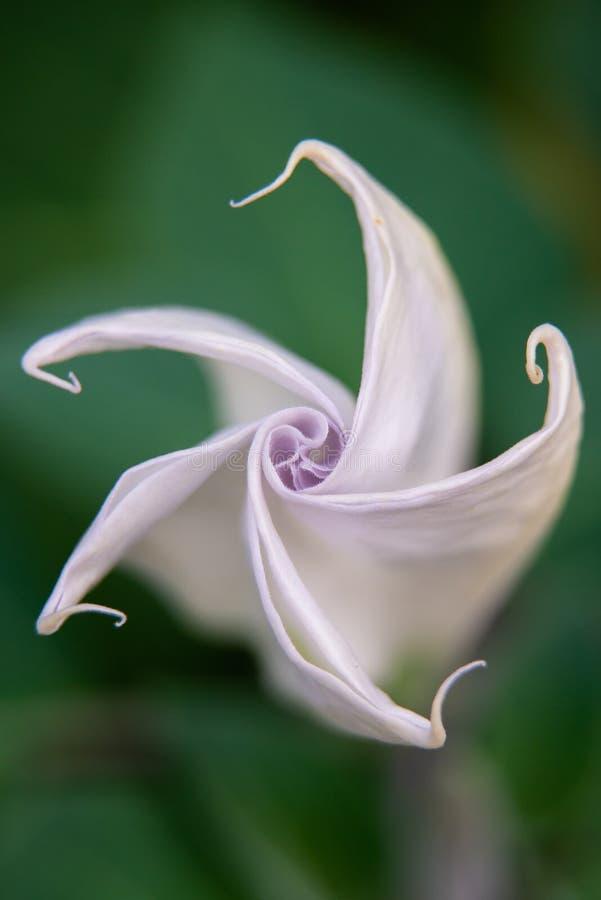 Stramonium de mauvaise herbe ou de datura de Jimson dans le jardin photos libres de droits