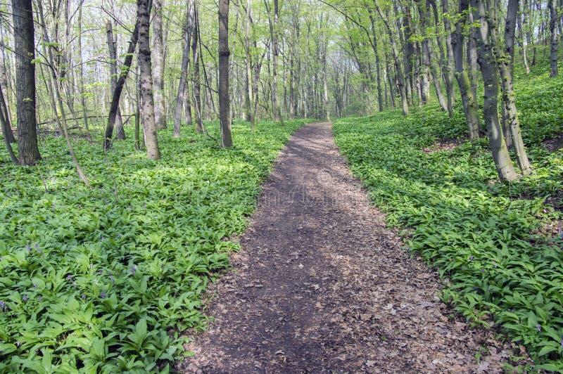 Stran Nemosicka, hornbeam δάσος - το ενδιαφέρον μαγικό σύνολο θέσεων φύσης των άγρια περιοχών αντέχει το σκόρδο κατά τη διάρκεια  στοκ φωτογραφίες