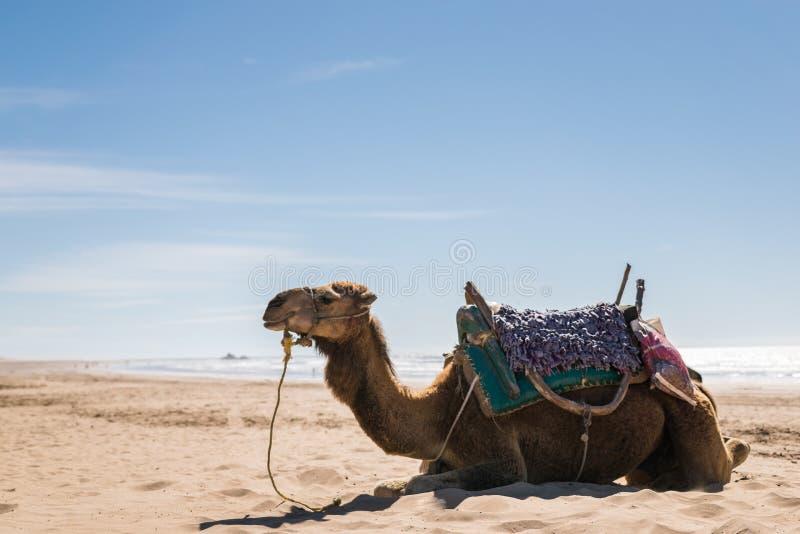 Strand för arabisk kamel royaltyfri foto