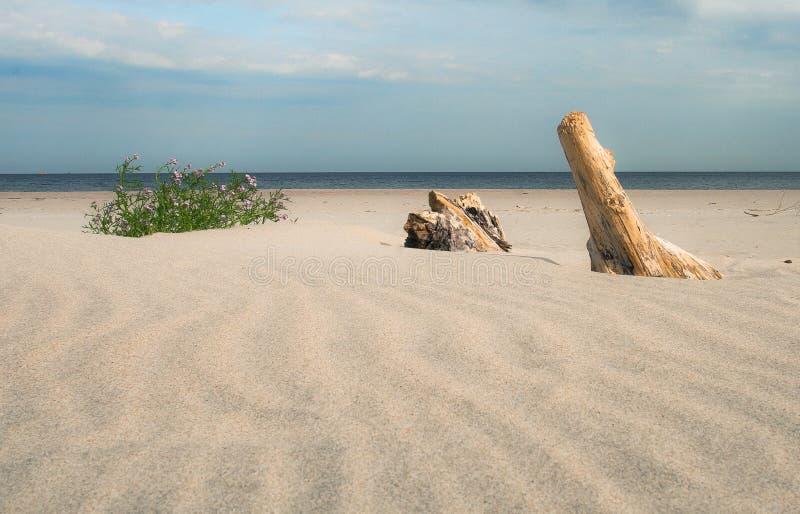 Strand för baltiskt hav med torrt trä fotografering för bildbyråer