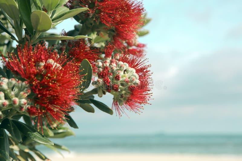 Strand för röda blommor för Pohutukawa träd sandig royaltyfri bild