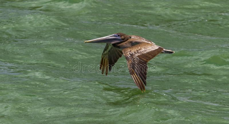 Strand Florida van het pelikaan het tijdens de vlucht Duidelijke water royalty-vrije stock foto