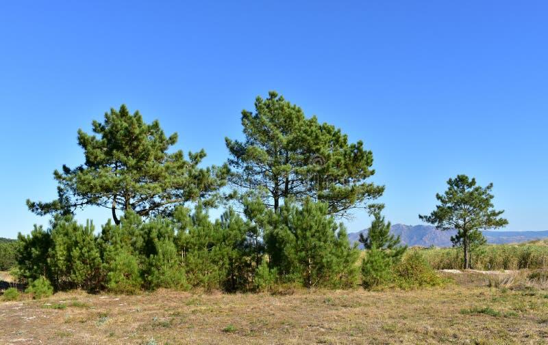 Strand met gras en pijnboombomen, zandduinen en berg Blauwe hemel, zonnige dag Galicië, Spanje stock afbeelding