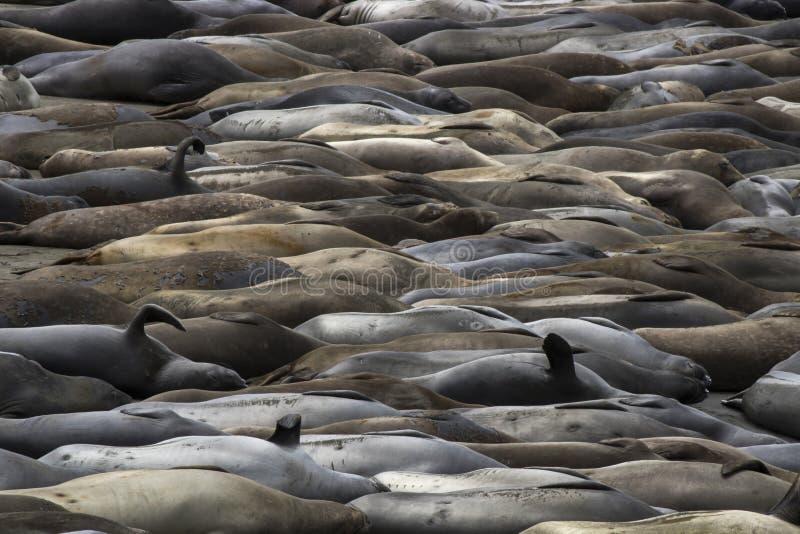 Strand mycket av nordliga elefantskyddsremsor i variation av färger i Kalifornien royaltyfria bilder